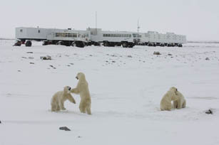 bears-on-tundra-near-buggy