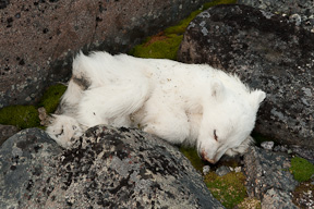 the lifeless body of a cub of the year lies in the moss