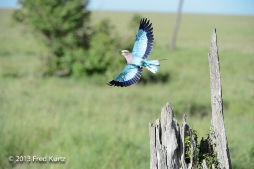 Fred Kurtz captured the beauty of the lilac breasted roller as it jumped from it's perch to fly off.