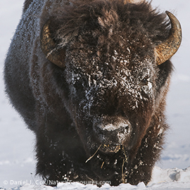 A large bull bison in Yellowstone National Park. Wyoming.