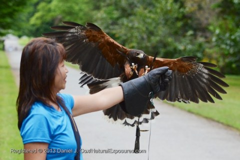 An Vo receives a Harris Hawk during our event with the at Ashford Castle falconry program,  Ireland.