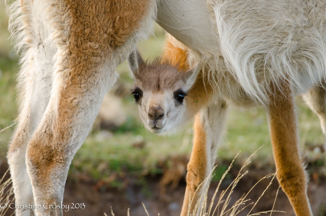 A baby guanaco peers beneath it's mothers belly while getting a drink of milk. I was standing right next to Christine in Patagoina when she shot this and I she outshoot me on this subject. Beautiful image Christine.