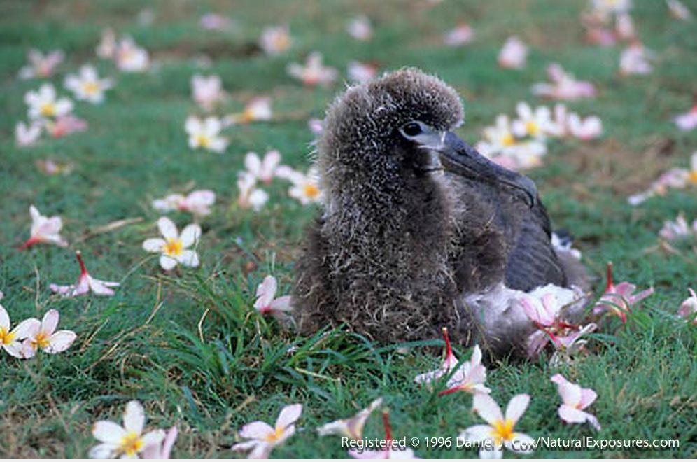 Layson Albatross,  Chick in plumeria flowers. Midway Island. Hawaii.