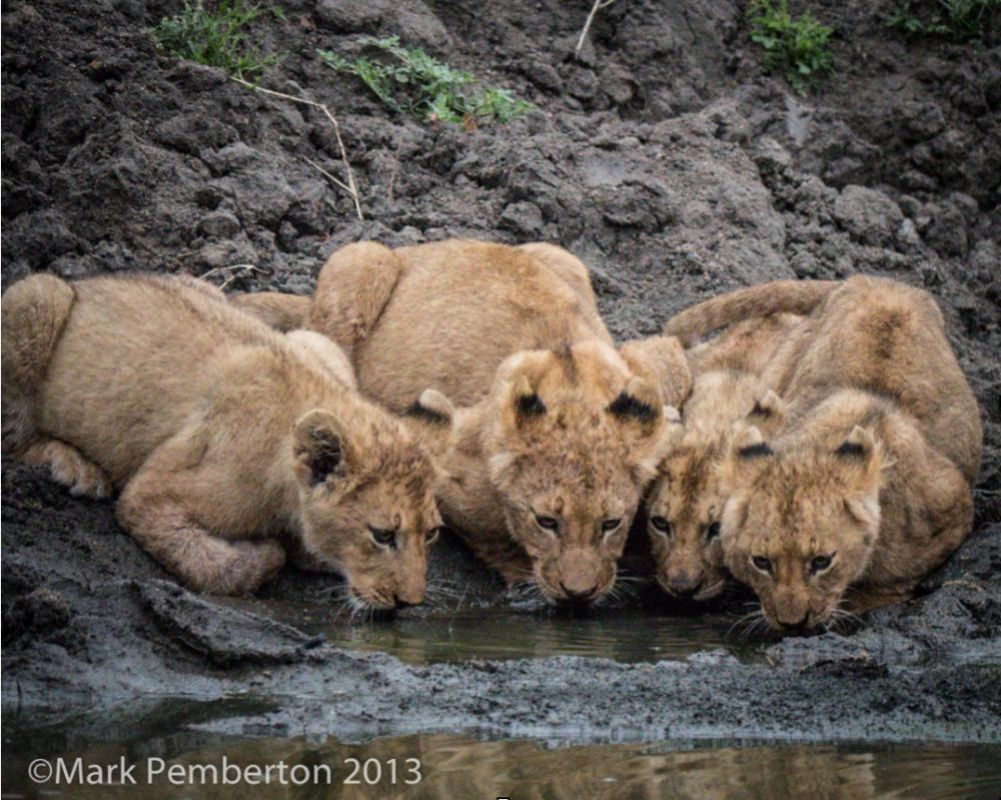 The following photograph, shot at 6:26 am, shows some lion cubs getting a drink. It was shot at ISO 6400!