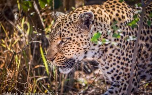 The following is an image that I shot in Mala Mala of a leopard creeping through the brush at 8:47 in the morning.