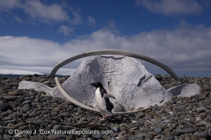 Adelie penguin passes a very old whale skull on the beach at the Henryk Arctowski Polish Antarctic Station on King George Island. Antarctica