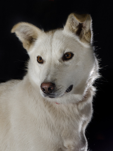 Portrait of a beautiful sled dog in need of a home.