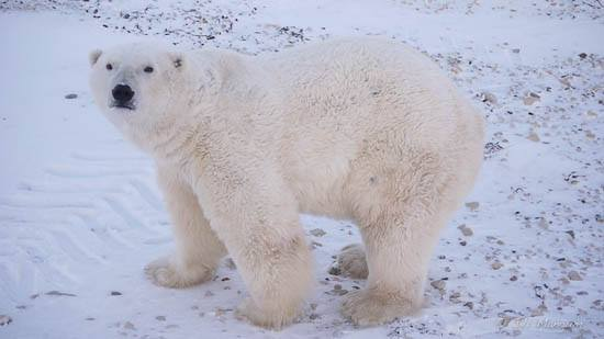 Polar Bear at Cape Churchill. Manitoba, Canada