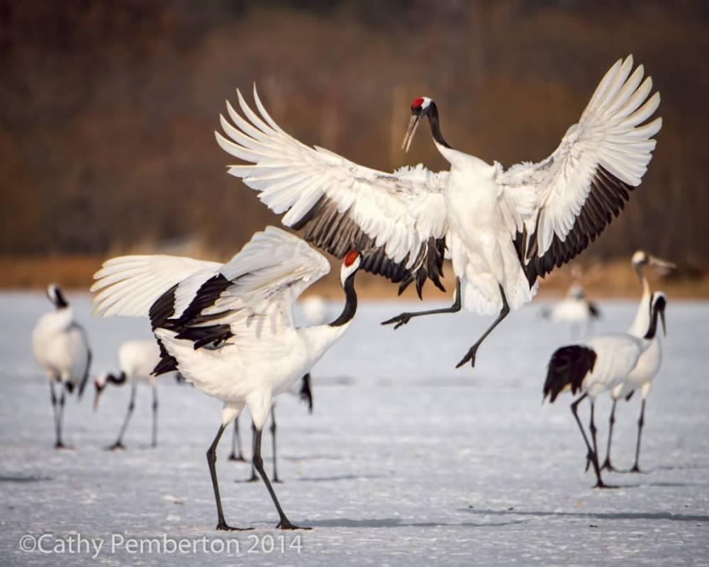 A pair of Crowned Cranes in courtship display, Hokaido, Japan.