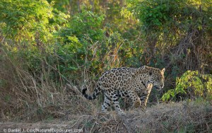 "Brazil's jaguar is just one  species that benefits from the country's 'greening"" efforts."