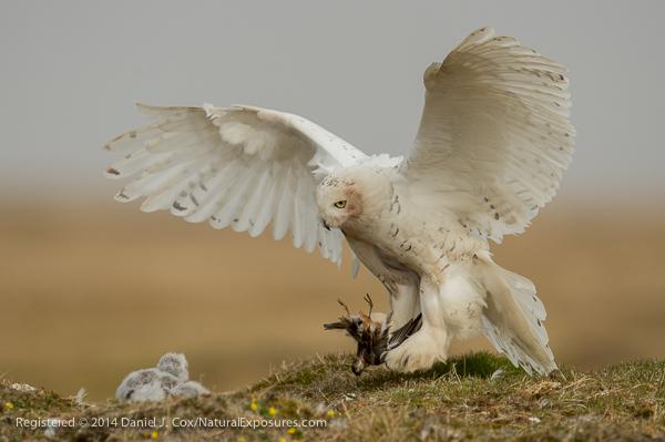 Snowy owl, female flies in to nest with red phalarope. Alaska.