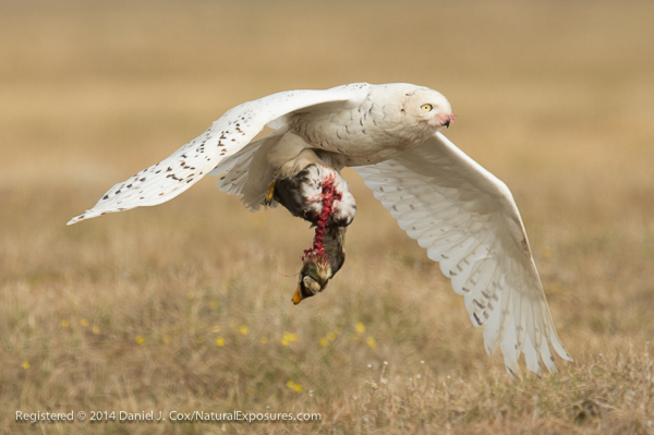 Snowy owl, female flies in to nest site with spectacled eider she has killed and partially consumed. Alaska.