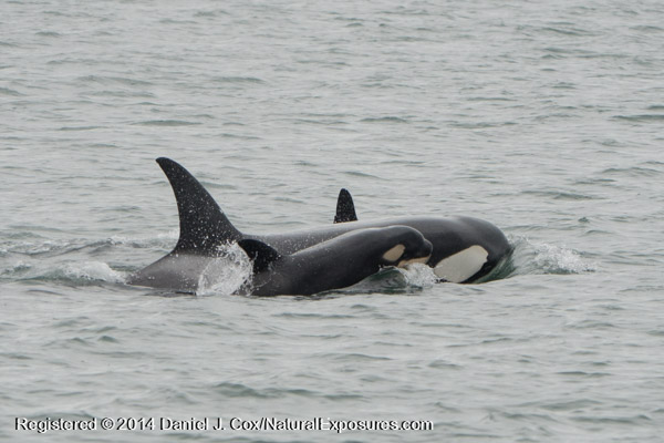 A very young Orca whale surfaces briefly with as it follows it's mother. Lumix GH4 with 100-300mm zoom.