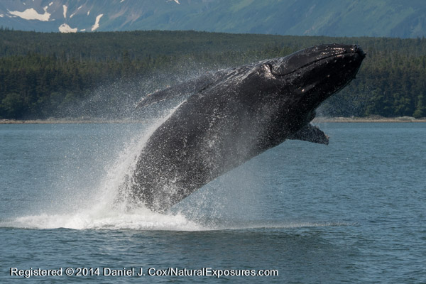 A massive adult Humpback whale comes nearly completely out of the water in a spectacular breach. Lumix GH4 with 100-300mm zoom.