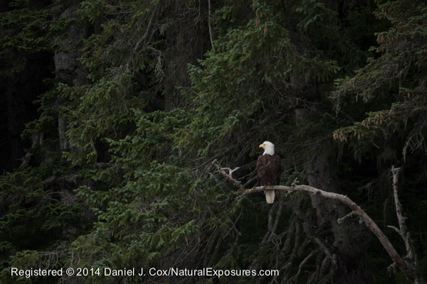 A beautiful bald eagle hangs out in the trees on the shores of Stephen's Passage waiting for salmon. SE Alaska. Lumix GH4 with 100-300mm lens.
