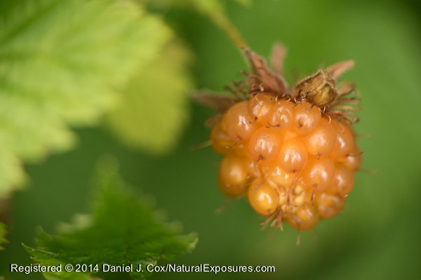 A salmon berry glows bright orange indicating it's ripe and ready to be eaten, most likely by an animal. Lumix GH4 with and 45mm Leica Macro-Elimart with Kenko extension tubes.