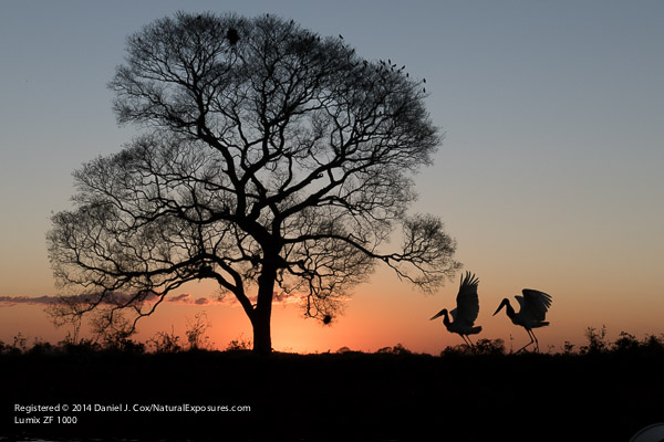 A pair of Jabaru storks on the river back in the Pantanal, Brazil.