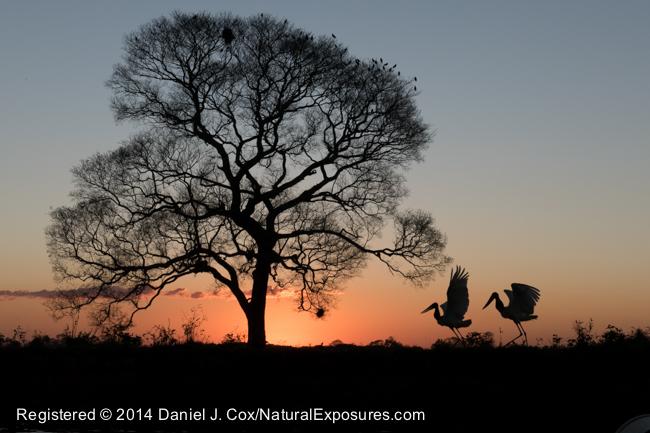 A pair of Jabiru storks at sunset, Pantanal, Brazil