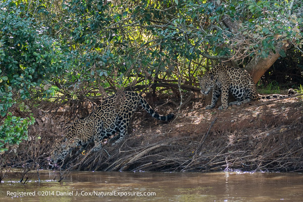 A mother Jaguar comes down to the river to drink as one of her two cubs look on. Lumix ZF1000