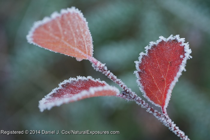 Red willow leaves covered with the frozen crystals we all know as frost. GH4 with 45mm Macro.