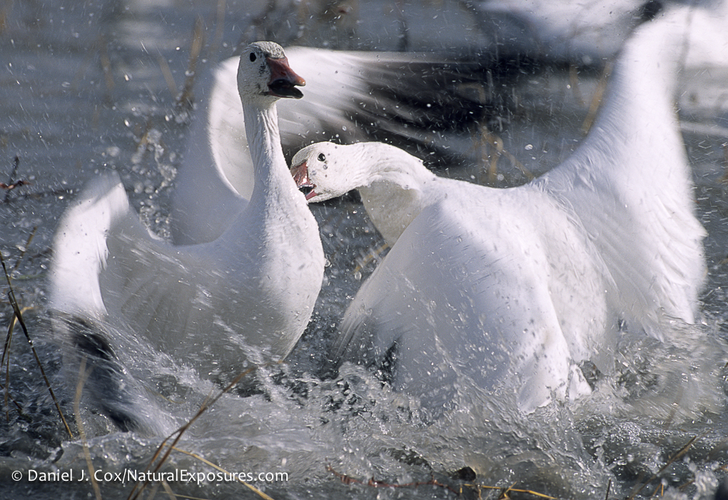 A snow goose and a blue goose have an altercation on the Bosque Del Apache, New Mexico.