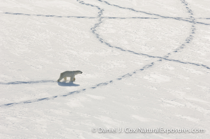 A polar bear wanders the ice of the Beaufort Sea in search of a female.