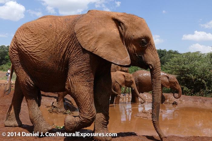 Orphaned elephants at the The David Sheldrick Wildlife Trust, elephant orphanage near Nairobi, Kenya