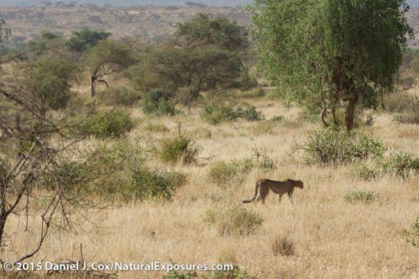 A mother cheetah makes her way through the hot, bushy landscape of Samburu National Reserve. Kenya. Lumix GH4 with Olympus 40-150mm F/2.8. 250ISO