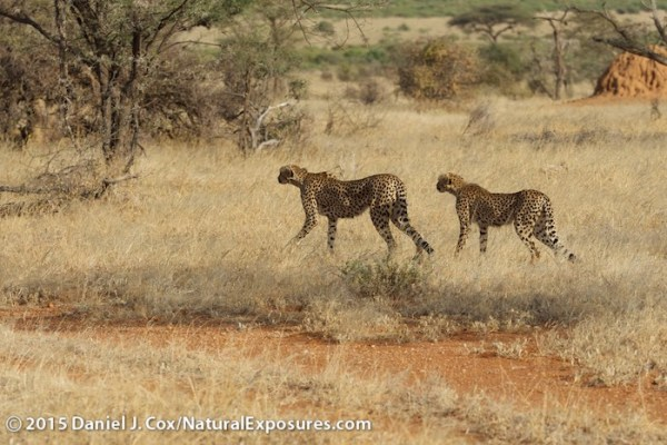 Mother cheetah and one of her two older cubs begin to hunt a herd of grants gazelle. Lumix GH4 with Olympus 40-150mm F/2.8. 250ISO