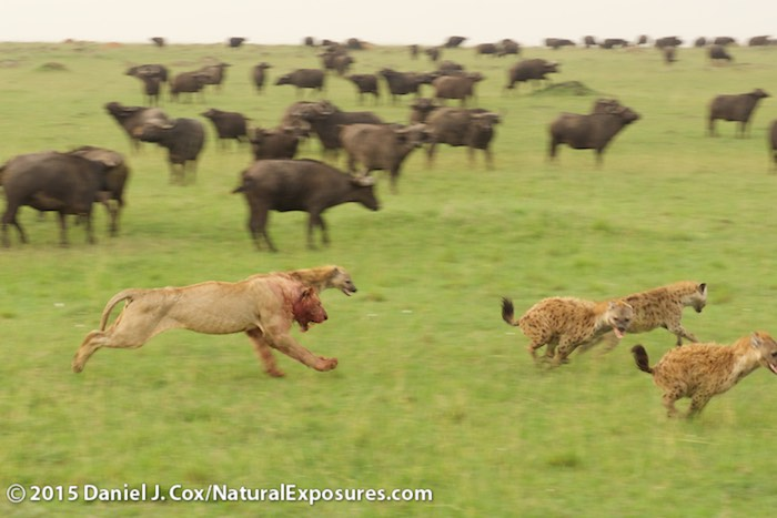 A young male lion puts sprints out to chase hyenas that keep pestering the feasting pride. Masai Mara Game Reserve, Kenya. Lumix GH4 with Olympus 40-150mm F/2.8. ISO 320