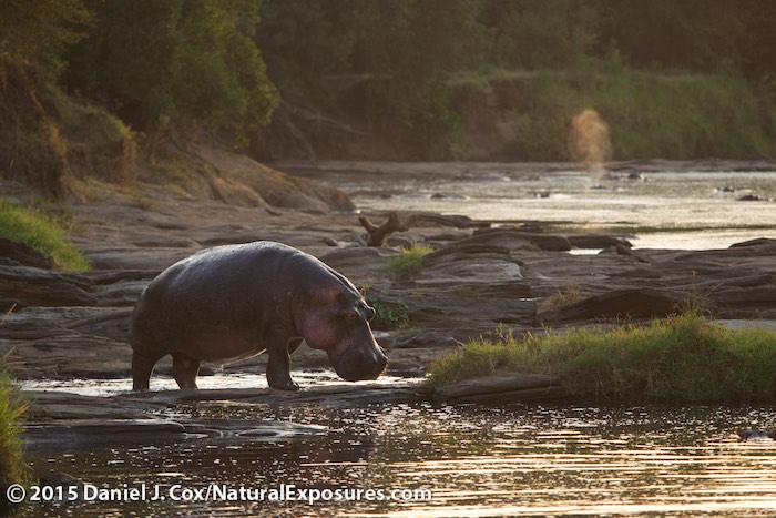 Hippopotamus, a dominant male moves from one pool to the next on the Olarorok river, Masai Mara Game Reserve, Kenya