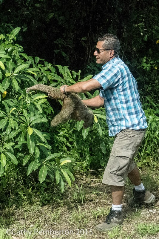 The bus driver carries a sloth off the road to safety.