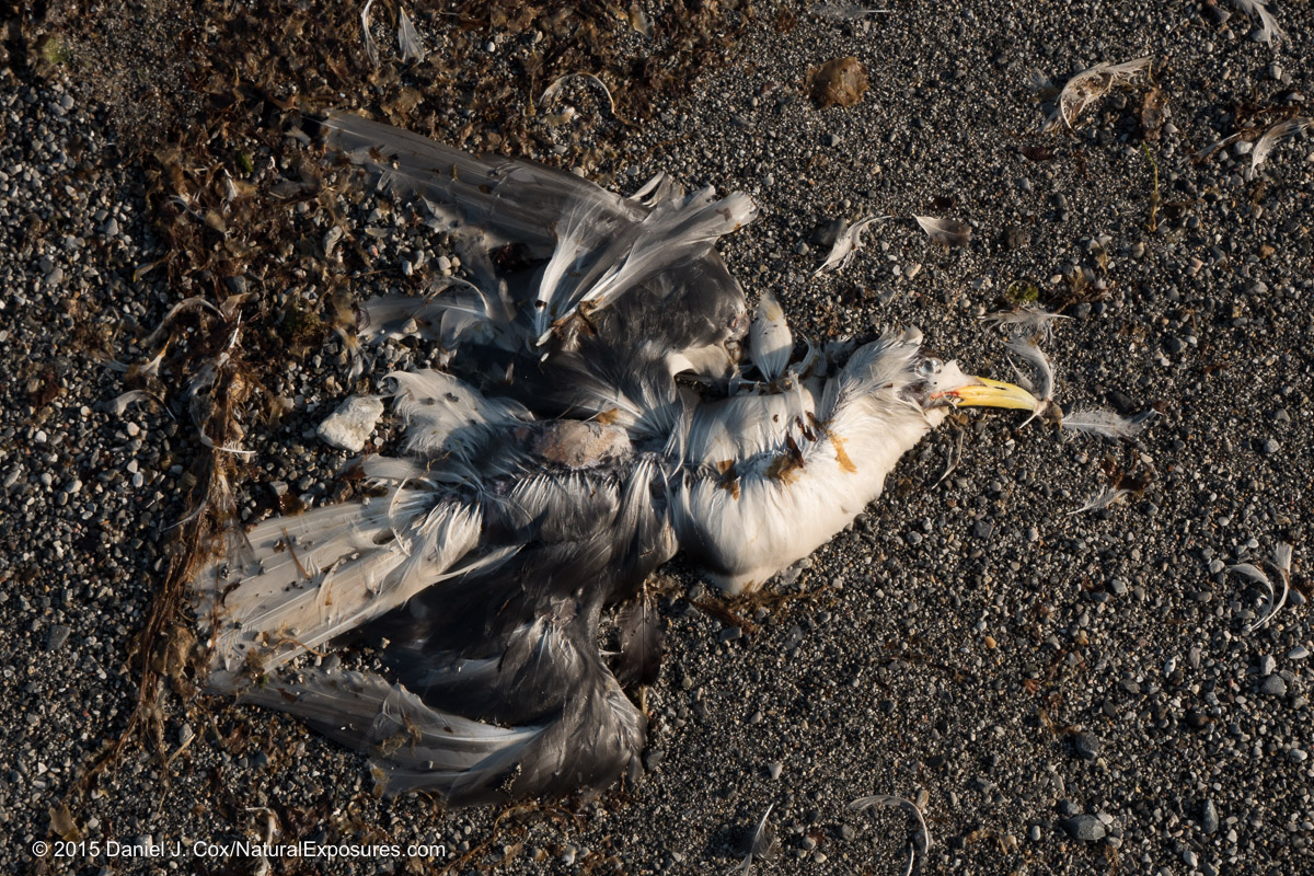 The remains of what look to be a Kittiwake returning to the sands of creation. Lumix GH4 with 12-35mm F/2.8
