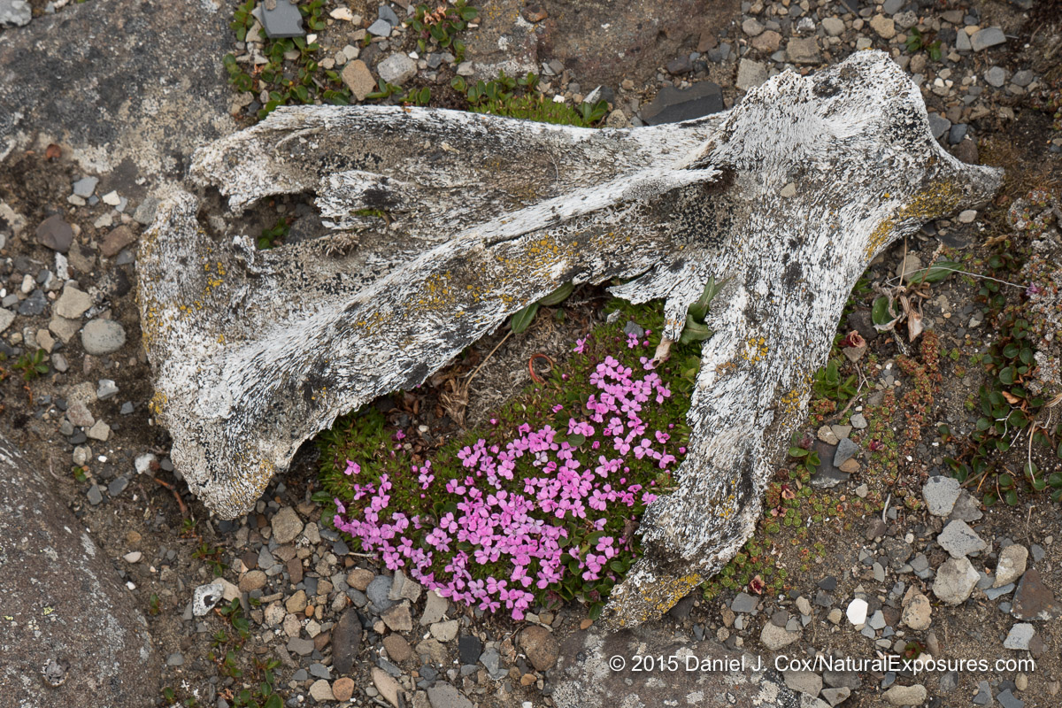 An old chunk of reindeer anteroom lying on the tundra with a patch of moss campion growing between the antler tines. Lumix GH4 with 12-35mm F/2.8