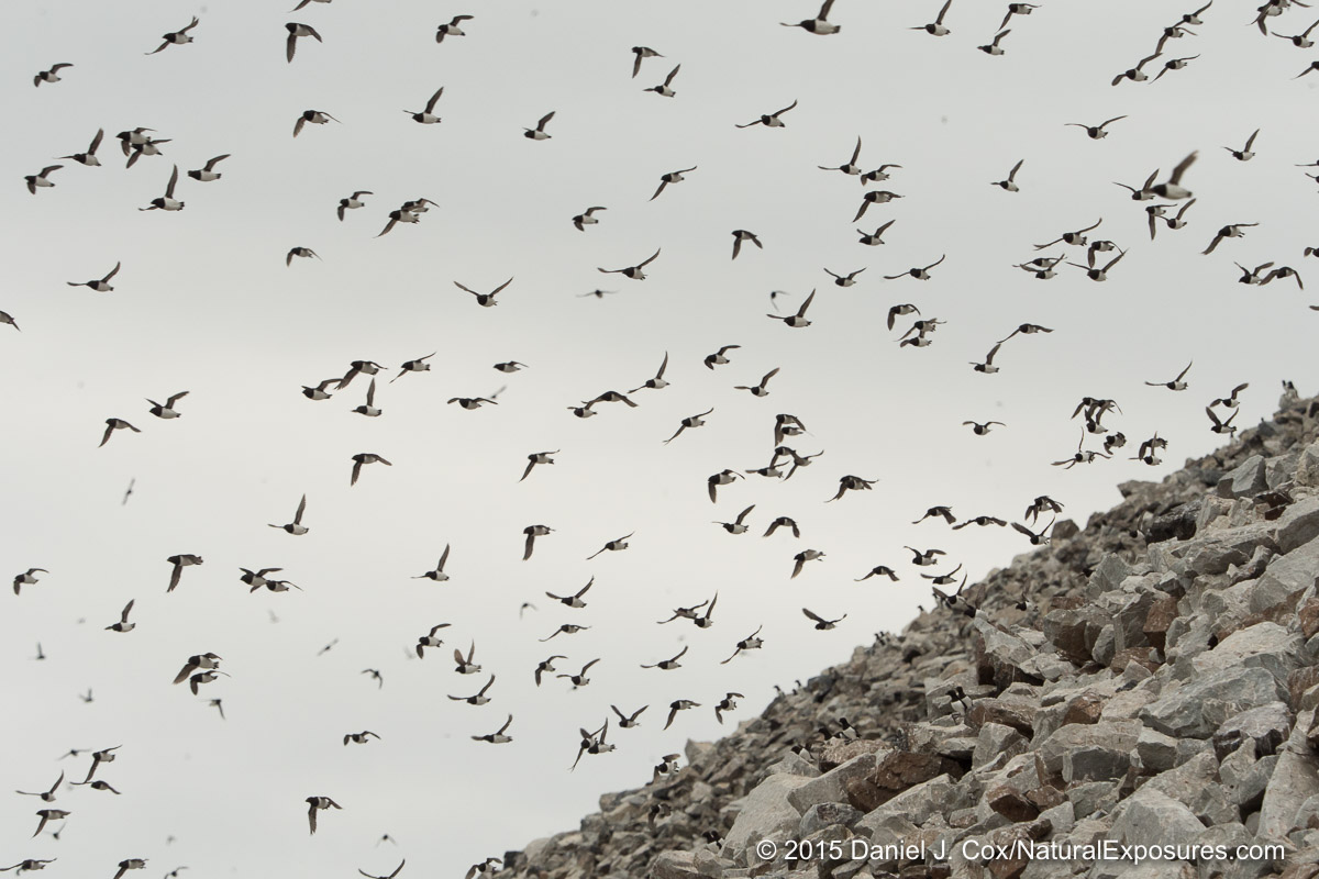 Little Auks fly out from their colony in the rocky rubble at  Varsolbukta, Svalbard, Norway.