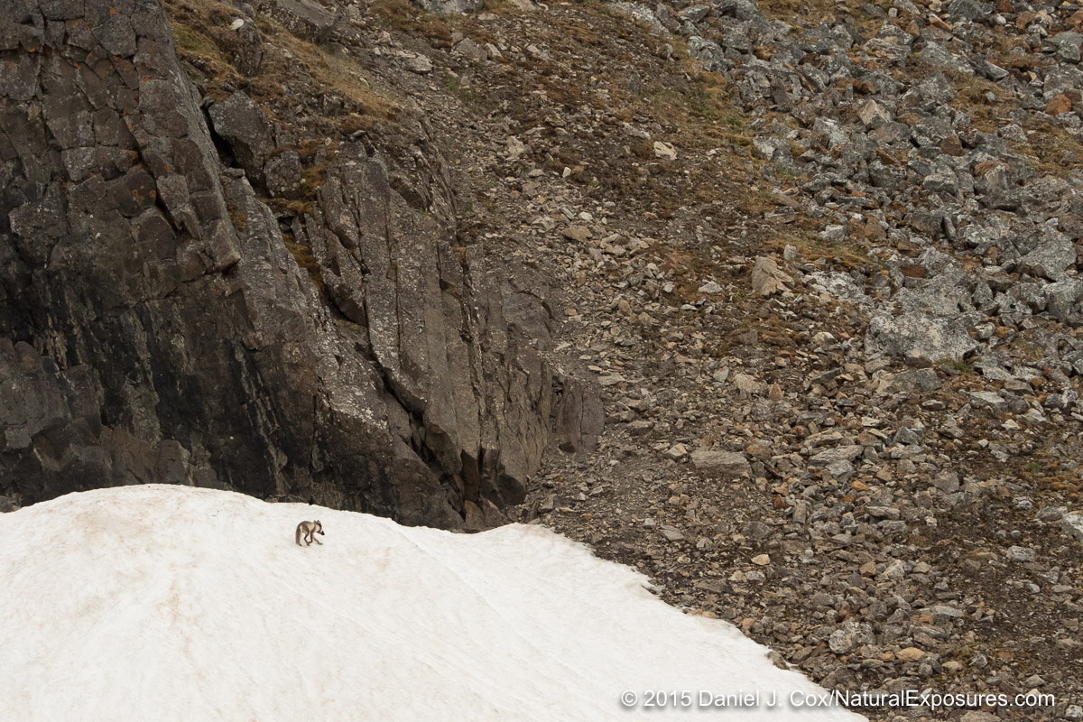 An arctic fox makes its way back to its den with a mouthful of little auks from the colony on Varsolbukta. Svalbard, Norway