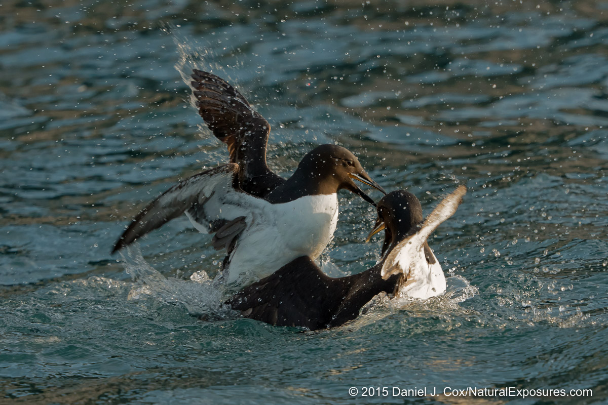 A pair of Brunich's guillemots strike up a vicious fight just off the side of our Zodiac. Lumix GH4 with 40-150mm F/2.8 and 1.4X teleconverter.