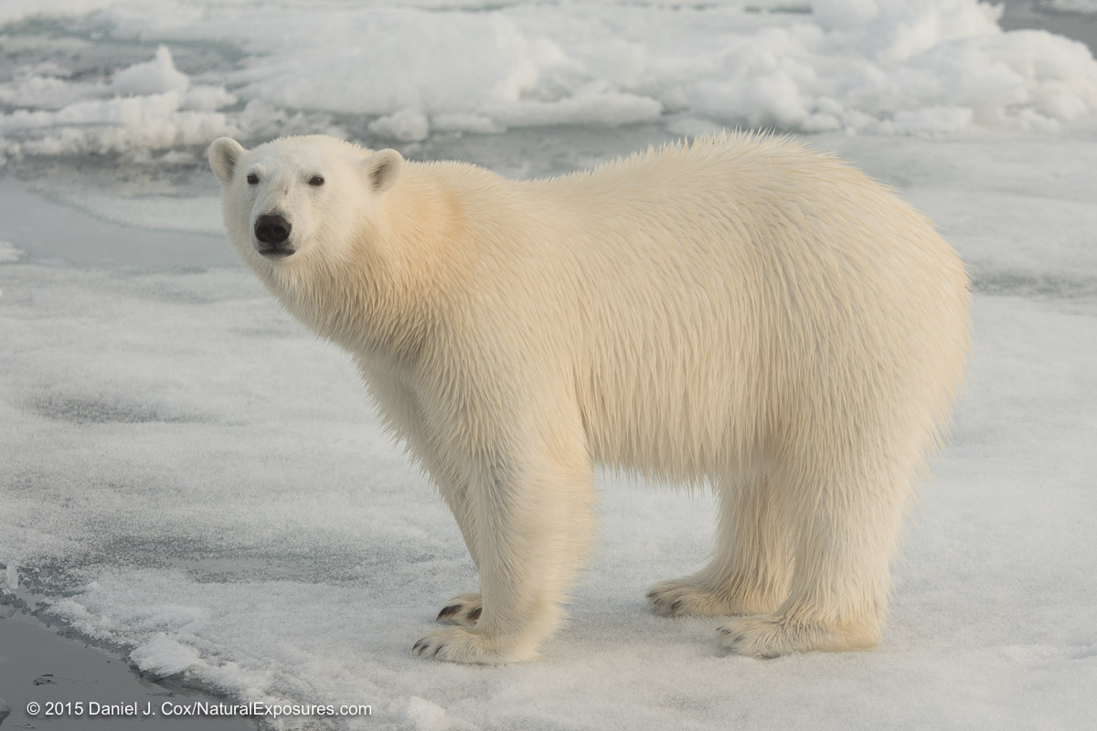 This polar bear was shot with the Lumix GH4 and the Olympus 40-150mm F/2.8 with the Olympus 1.4 teleconverter.