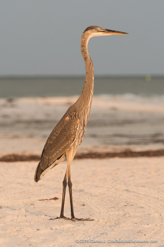 Great Blue Heron, Sarasota beach, florida.