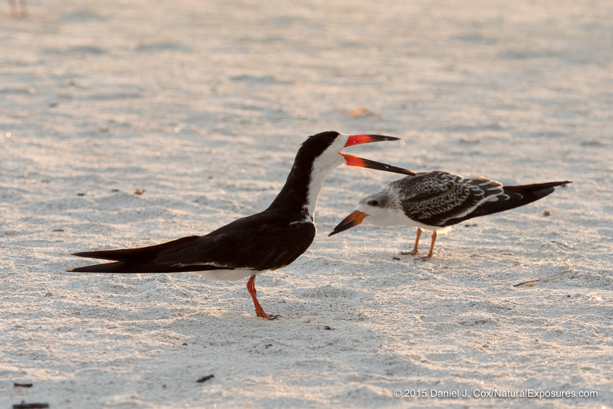 Black Skimmer, juvenile begging for food. Sarasota beach, Florida.