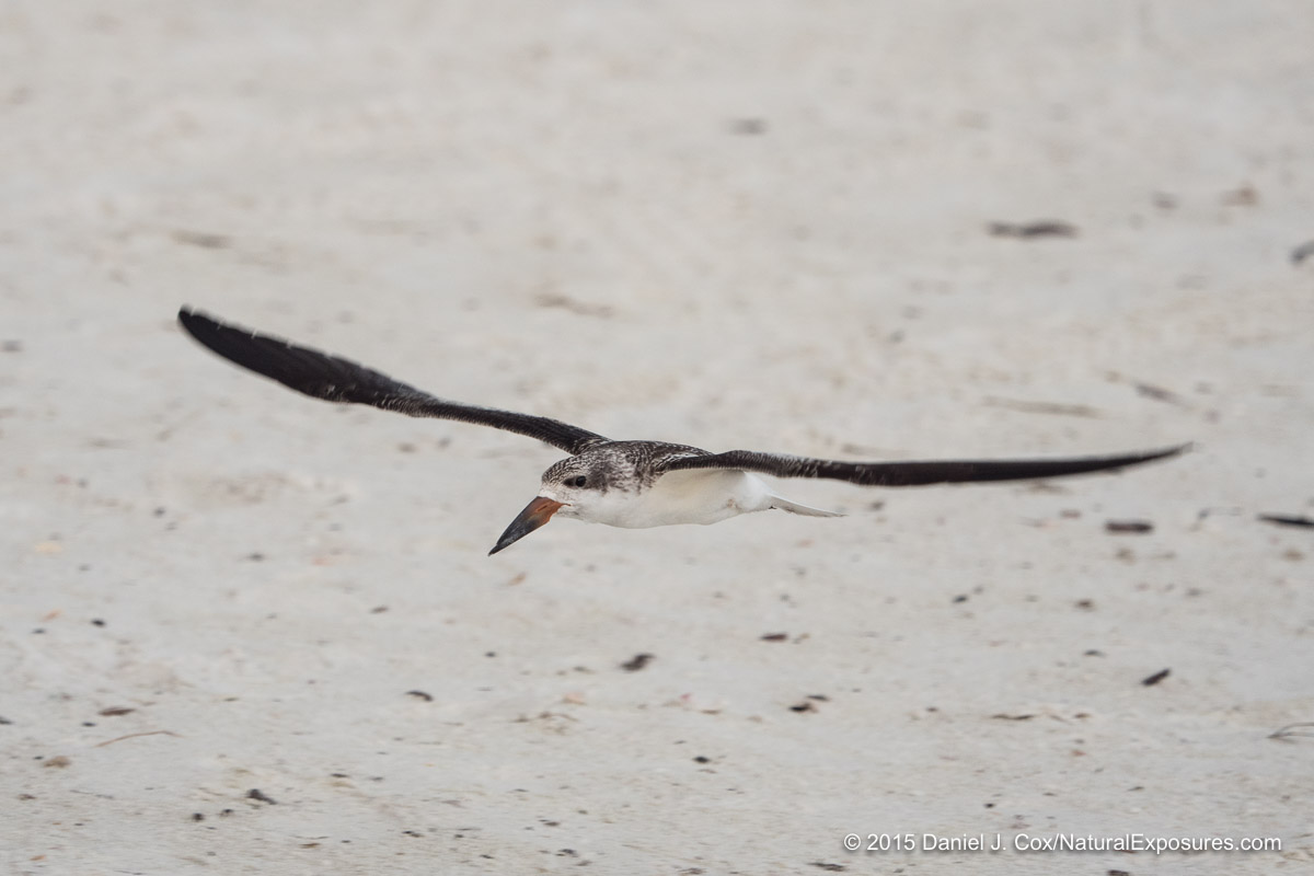 Black Skimmer, Sarasota beach, Florida.