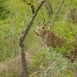 Leopard in Mala Mala