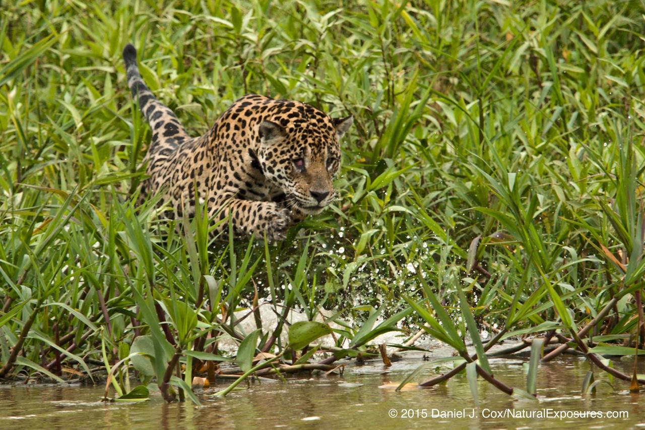 Jaguar at the start of an attack on a Caiman. Pantanal, Brazil.