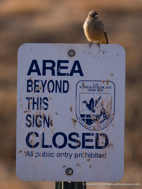 Gray-colored thrush sits atop a NWR sign. Bosque del Apache, NWR. New Mexico.
