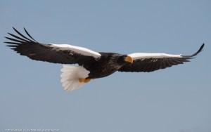 Steller's Sea Eagle in flight, Hokkaido, Japan Lumix GX8 with Leica 100-400mm zoom. ISO 500