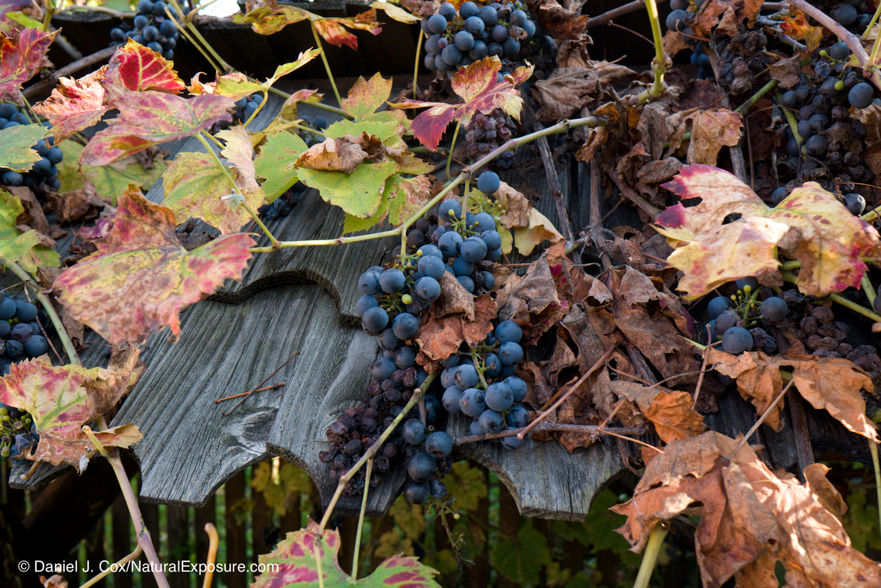 Wine grapes on the vine, Autumn, Romania