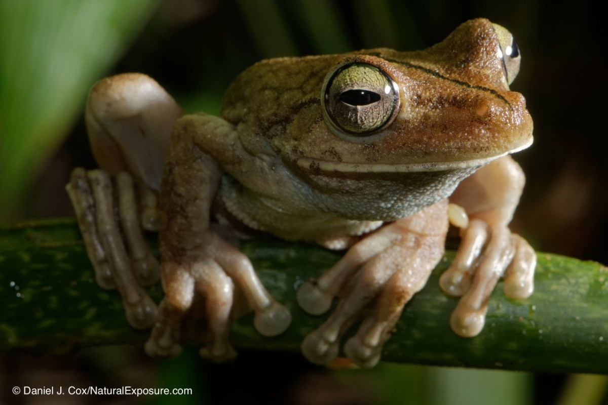 Tree frog from Costa Rica shot with Lumix GH4 and Leica 45mm F/2.8 macro lens. One lash off camera fired by Lmix wireless remote system.