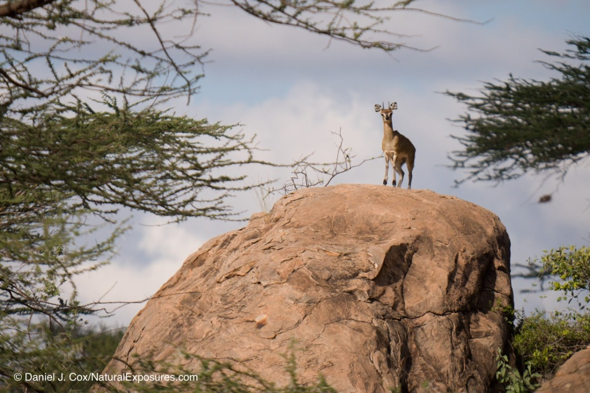 Klipspringer, Samburu National Park, Kenya showing a watermark sample that I include on all my images sent out vial email or on the web.