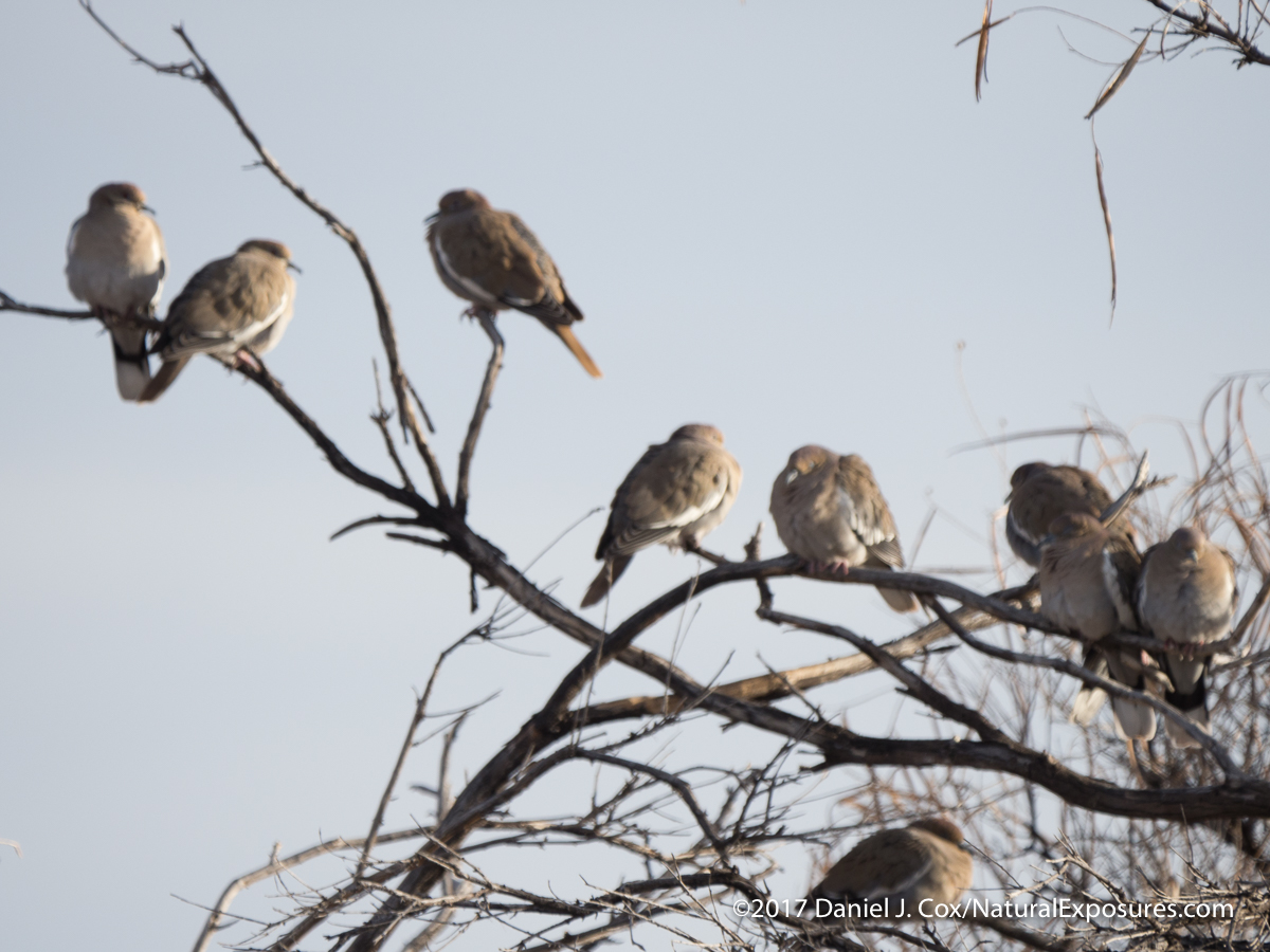 Doves in a tree are extremely soft and look like possibly in camera IS and lens IS were fighting each other. Image shot at 1/320th. of a second so camera shake was not an issue.