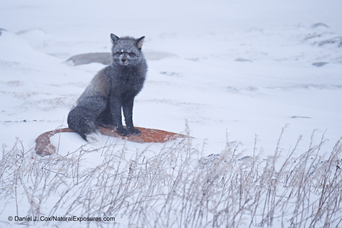 Foxes on the Edge with the Arctic Documentary Project